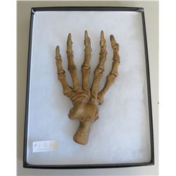 Large Fossil Cave Bear Claw