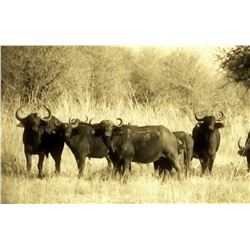 Seven-day South Africa  (Limpopo) Buffalo or Plains Game Hunt for Two Hunters