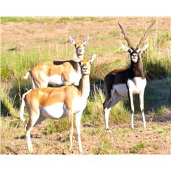 Five-day  Argentina Blackbuck and Ram Hunt for Three Hunters