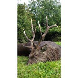 Three Day Ireland Sika Stag or Irish Ibex Hunt for One Hunter