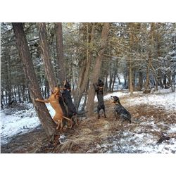 British Columbia Mountain Lion Hunt for 1 Hunter - $7,900