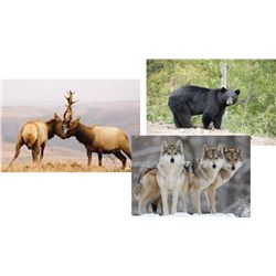 """9 Day """"Elk Rut Hunt"""", Black Bear, and Wolf for One Hunter"""