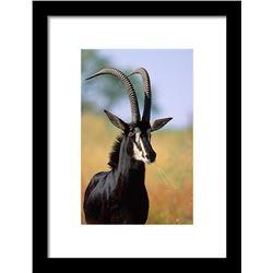 """7 Day Hunt for 42""""+ Sable Bull or Golden Wildebeest or Black Impala for 1 Hunter"""
