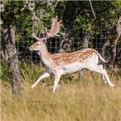 3 Day/2 Night Trophy Fallow Deer hunt for 1 Hunter