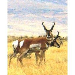 5 Day Antelope Hunt for One Hunter