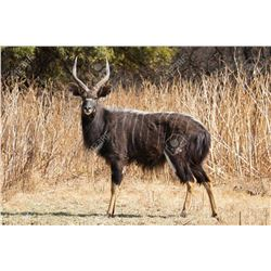 12 Day Hunt for 2 Nyala Bulls for Two Hunters
