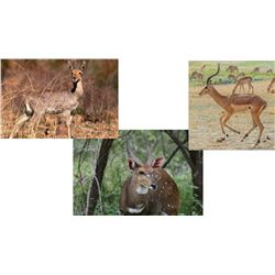 7 Day Hunt for Impala, Common Reed Buck,  & Bushbuck for One                                     Hun