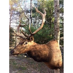 Elk Size Shoulder Mount