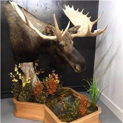 Pedestal Shoulder Mount for any animal up to a Moose