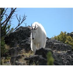 Montana Governor's Goat Tag – Mountain Goat