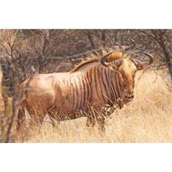 Makhulu Safaris Golden Wildebeest, Blesbuck, Springbuck