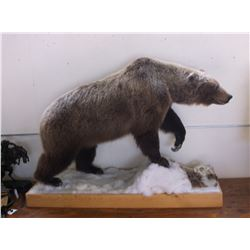 Full Mount Grizzly Bear- Harvested in Northwest Territories in 1997 By Duncan Gilchrist- No Paperwor