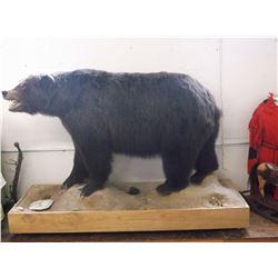 "Full Mount Alaskan Grizzly Bear- Squares 8' 1""- Wheeled Base 80""L X 28""W- Bear 42"" at Shoulder"