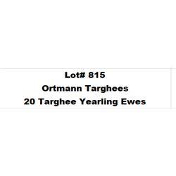 Lot 815 - Ortmann Targhees  - 20 head of Targhee Yearling Ewes