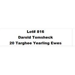 Lot 816 - Tomsheck D & L Inc  - 20 head of Targhee Yearling Ewes