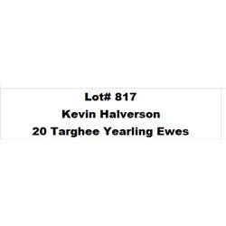 Lot 817 - Kevin Halverson  - 20 head of Targhee Yearling Ewes