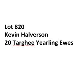 Lot 820 - Kevin Halverson  - 20 head of Targhee Yearling Ewes
