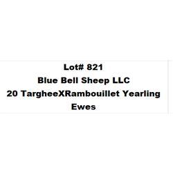 Lot 821 - Blue Bell Sheep LLC  - 20 head of Targhee X Rambouillet Yearling Ewes
