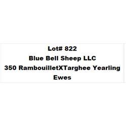 Lot 822 - Blue Bell Sheep LLC  - 350 head of Rambouillet X Targhee Yearling Ewes