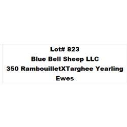 Lot 823 - Blue Bell Sheep LLC  - 350 head of Rambouillet X Targhee Yearling Ewes