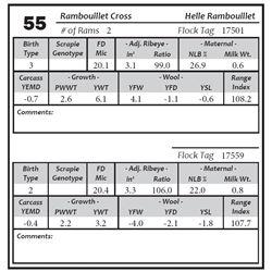 Lot 55 - Rambouillet Cross