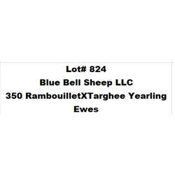 Lot 824 - Blue Bell Sheep LLC  - 350 head of Rambouillet X Targhee Yearling Ewes