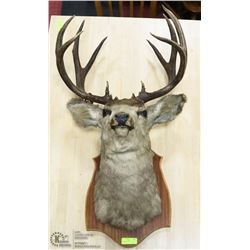 5 POINT DEER MOUNT WITH TAG