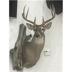 SHOULDER MOUNT BY GRAY TAXIDERMY