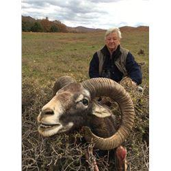 MOUFLON SHEEP  ~ SAFARI INTERNATIONAL MACEDONIA