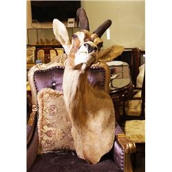 """Mounted head of a Sable Antelope, signed """"D. Griffith"""""""