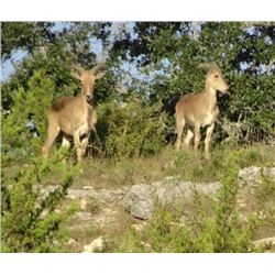 AOUDAD, MOUFLON or DYBOWSKI SIKA - Calhoun Ranch Wimberley Texas