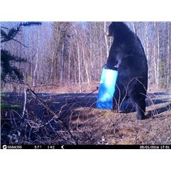 New Brunswick Black Bear