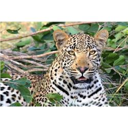 14-Day Leopard Hunt for 1 person