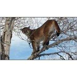 Mountain Lion Hunt in Nevada for 1 hunter