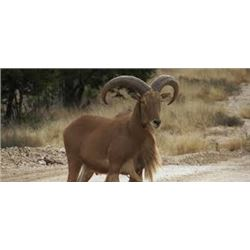 Aoudad Hunt for 1 hunter in TX