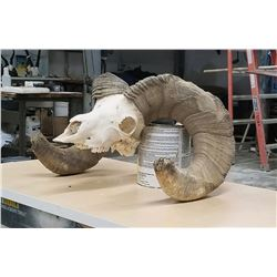 South Dakota Big Horn Skull
