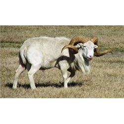 7-day Argentina Texas Dall, Multihorn & Hybrid Sheep for 2-hunters