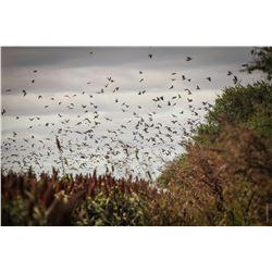4-Day  Full House  High Volume Dove Hunt in Cordoba, Argentina