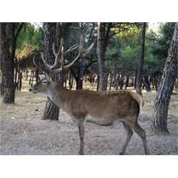 Fernando Saiz : Red Deer Hunt in Spain