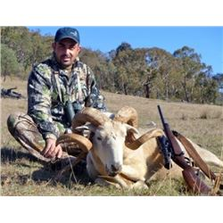 Australia Snowy Mountain Ram