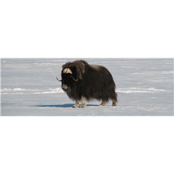 Nunavut – 6 Day – Barren Ground Musk Ox Hunt for Two Hunters