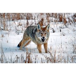 Illinois – 2 Day - Coyote Hunt for One Youth Hunt