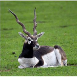 Argentina – 5 Day – Black Buck, Dorset Ram and Boar Hunt for Two Hunters