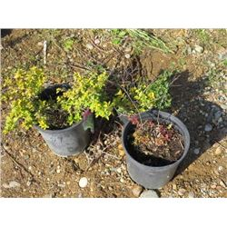 LOT OF 3, MISC SIZE SPIREA (3 TIMES BID PRICE)