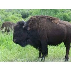 ONE Management Bison Hunt on Philmont Scout Ranch in New Mexico