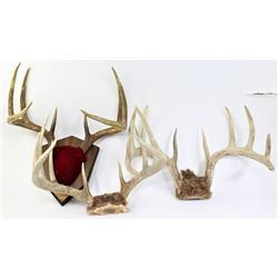 Collection of 3 pair of deer antlers.