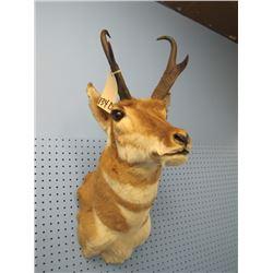 mounted pronghorn antelope head