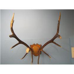 mounted set of elk horns