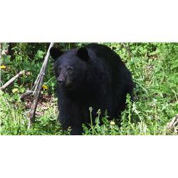 4 DAY BLACK BEAR HUNT IN IDAHO