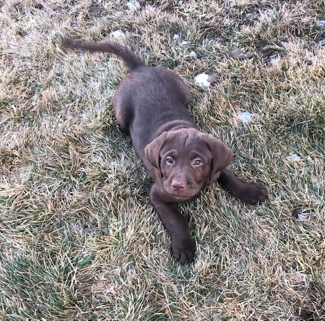 AKC REGISTERED CHOCOLATE LAB MALE PUPPY